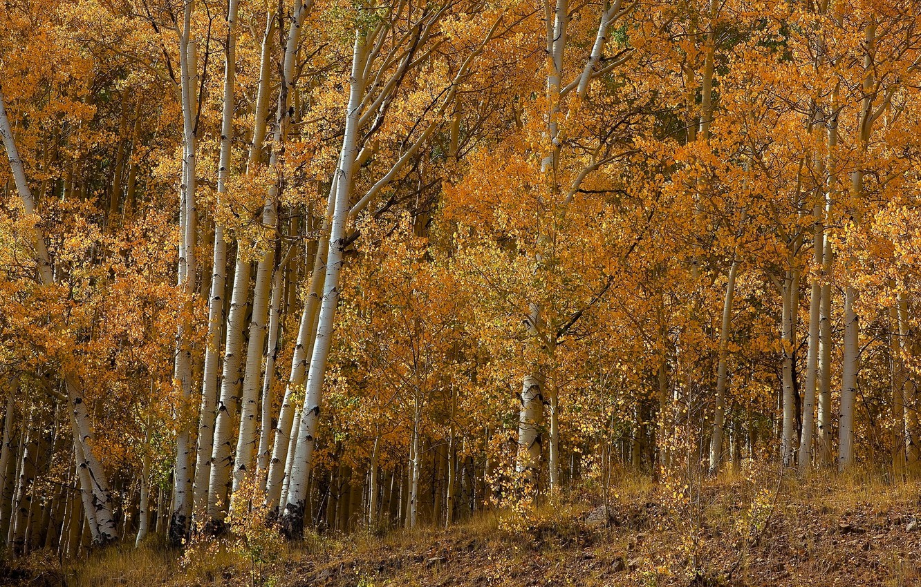 Photo wallpaper autumn, forest, leaves, trees, birch, grove, aspen