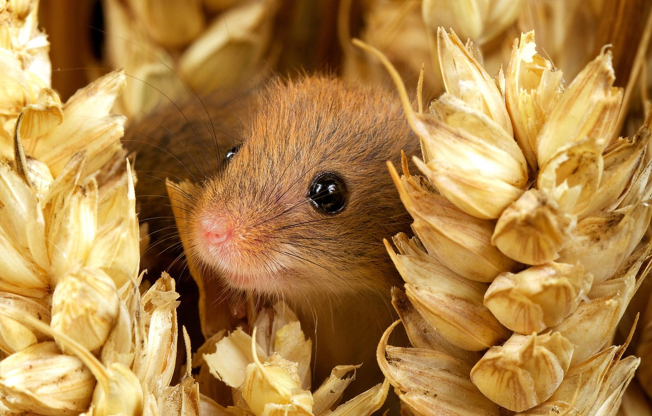 Photo wallpaper eyes, smile, muzzle, ears, nature, mouse, small, The mouse is tiny, harvest mouse