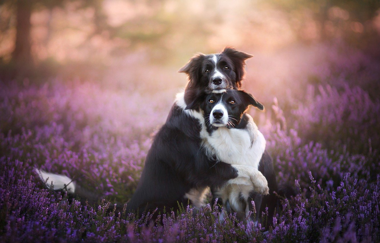 Photo wallpaper dogs, friendship, a couple, friends, bokeh, two dogs, Heather, The border collie