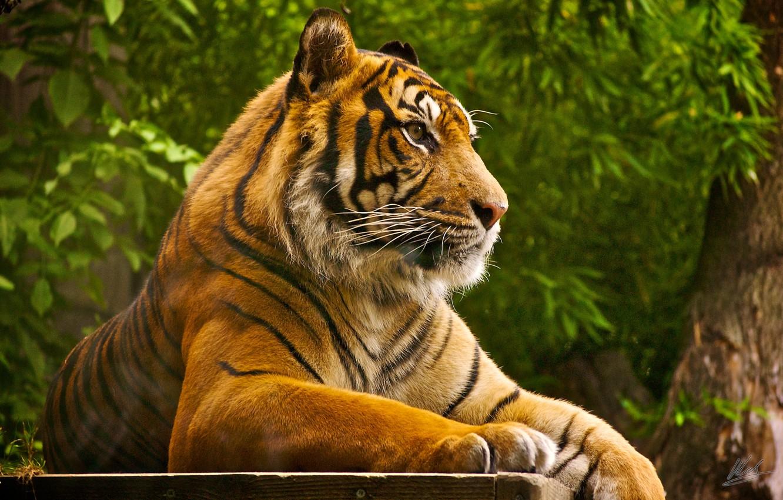 Photo wallpaper tiger, stay, predator, beast