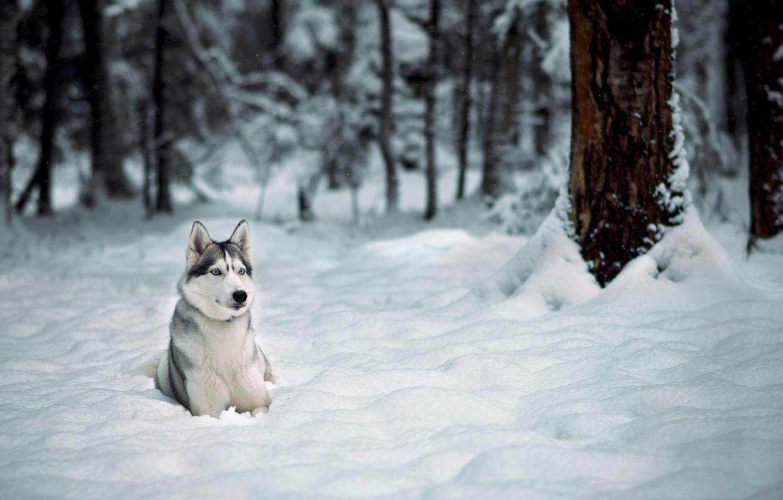 Photo wallpaper winter, forest, snow, trees, Dog, husky, Laika