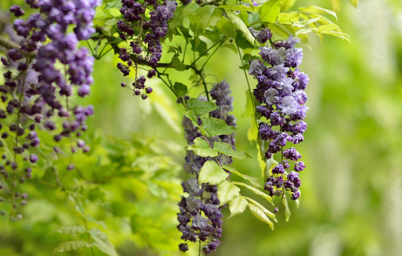 Photo wallpaper flowers, branch, bunches, lilac, Wisteria