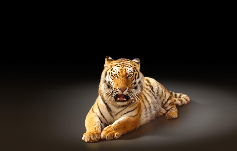 Photo wallpaper tiger, predator, black background, big cat, the Amur tiger