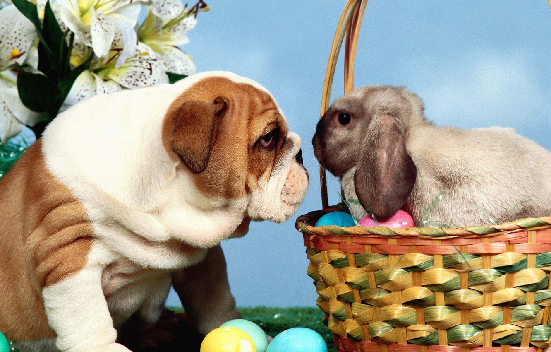 Photo wallpaper look, basket, eggs, rabbit, bulldog