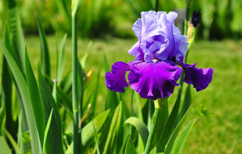 Photo wallpaper flower, petals, iris