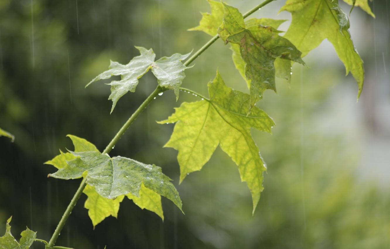 Photo wallpaper summer, drops, rain, branch, maple, maple