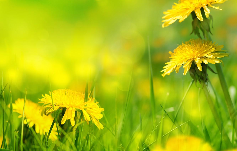 Photo wallpaper nature, grass, weed, dandelions, nature, dandelion