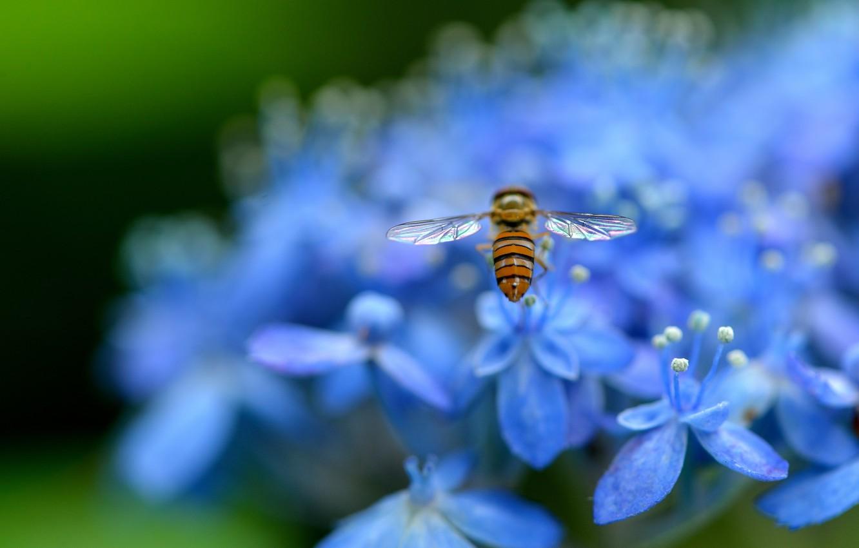 Photo wallpaper macro, flowers, nature, petals, blur, blue, insect, Hydrangea