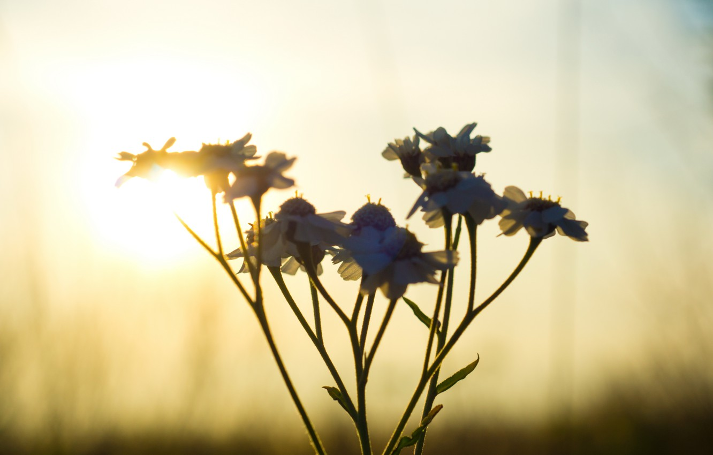 Photo wallpaper flower, sunset, The sun, contrast