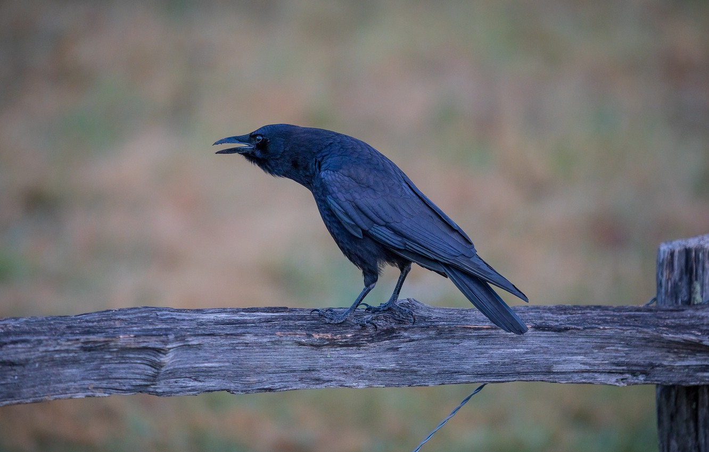 Photo wallpaper the fence, beak, crow