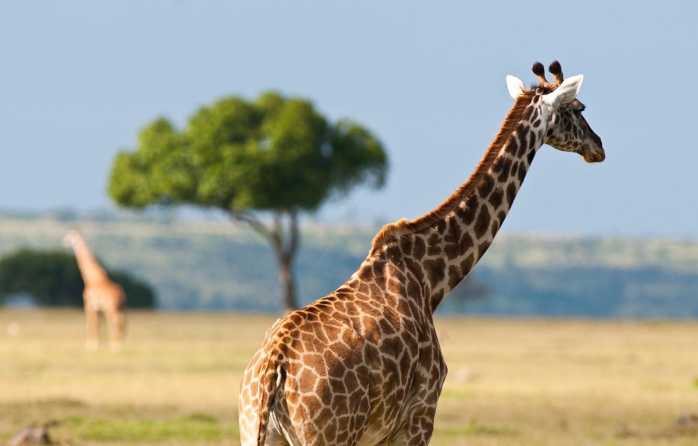 Photo wallpaper animals, summer, heat, giraffes, Africa, Australia, wildlife