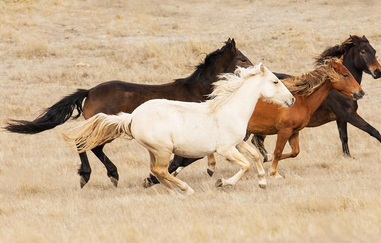 Photo wallpaper the steppe, horse, Australia, the herd, Bush