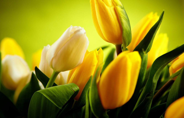 Photo wallpaper green, beautiful, yellow tulips