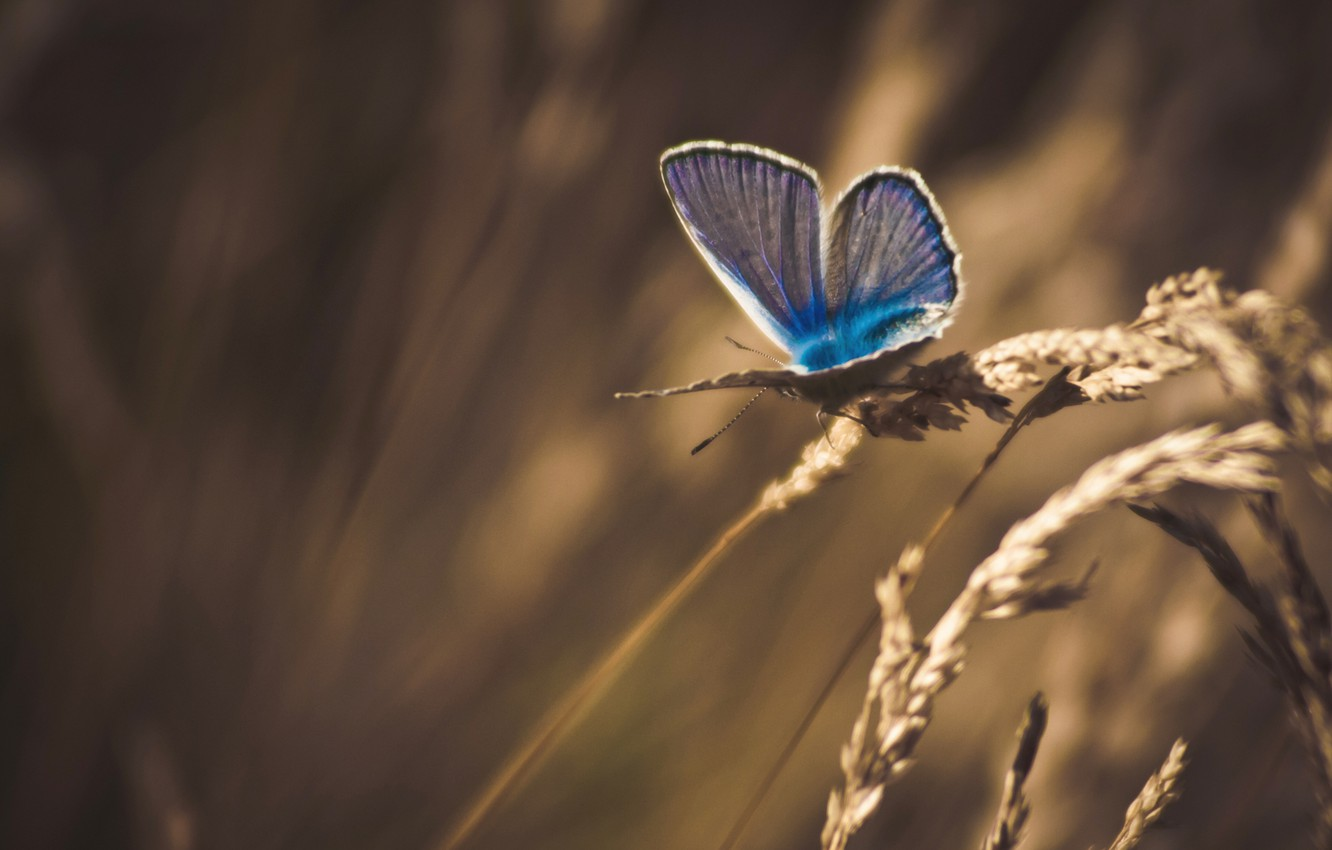 Photo wallpaper grass, macro, butterfly, treatment, spikelets, dry