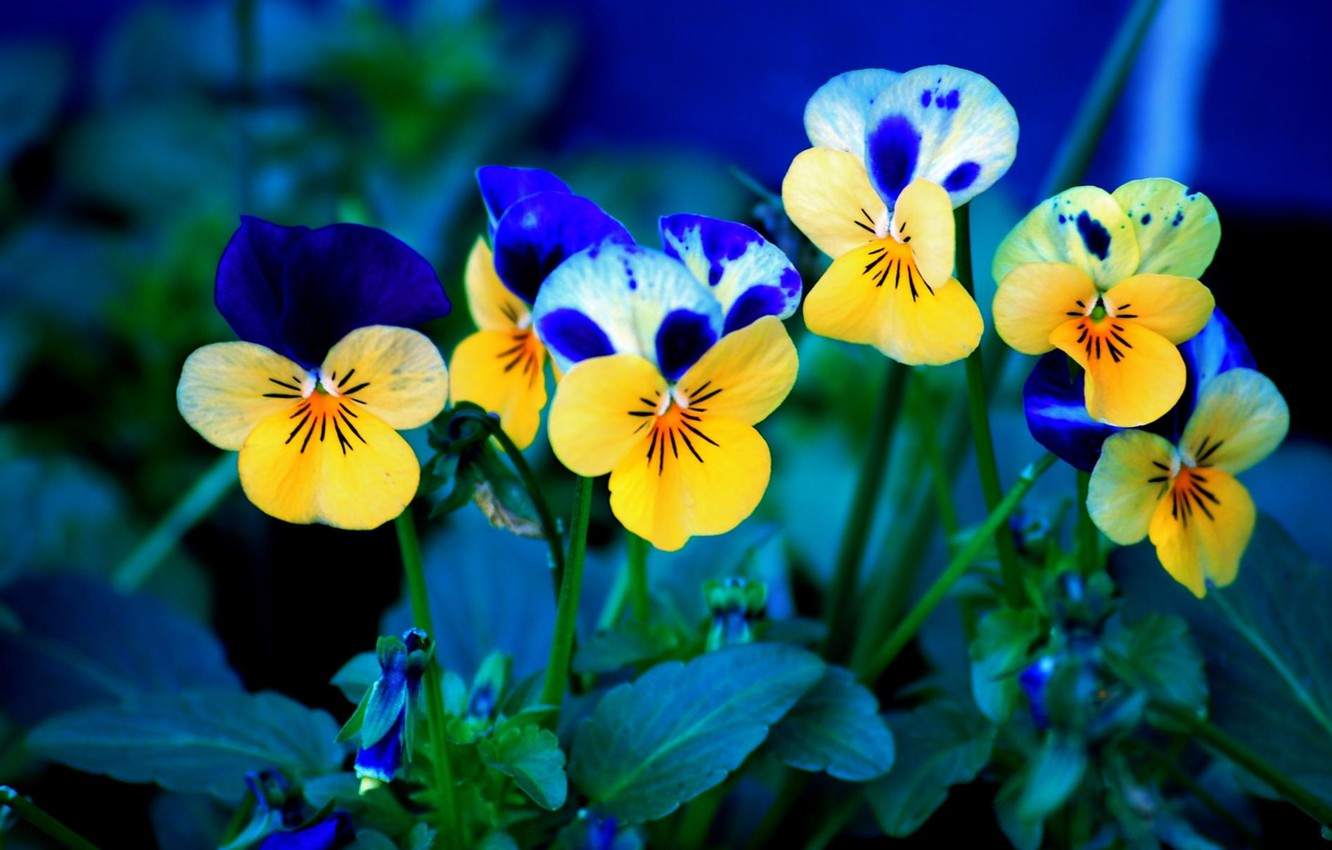 Photo wallpaper flowers, background, Pansy