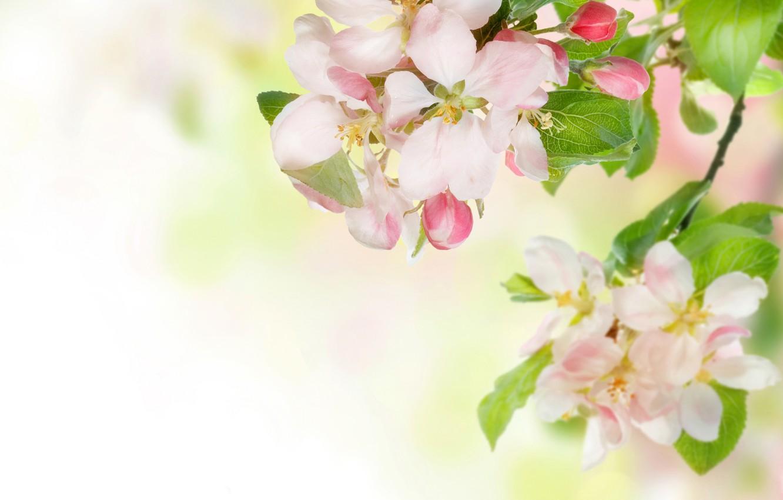 Photo wallpaper flowers, tenderness, branch, spring, Apple