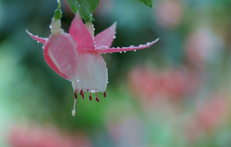 Photo wallpaper drops, macro, flowers, Rosa, Bud, pink, fuchsia