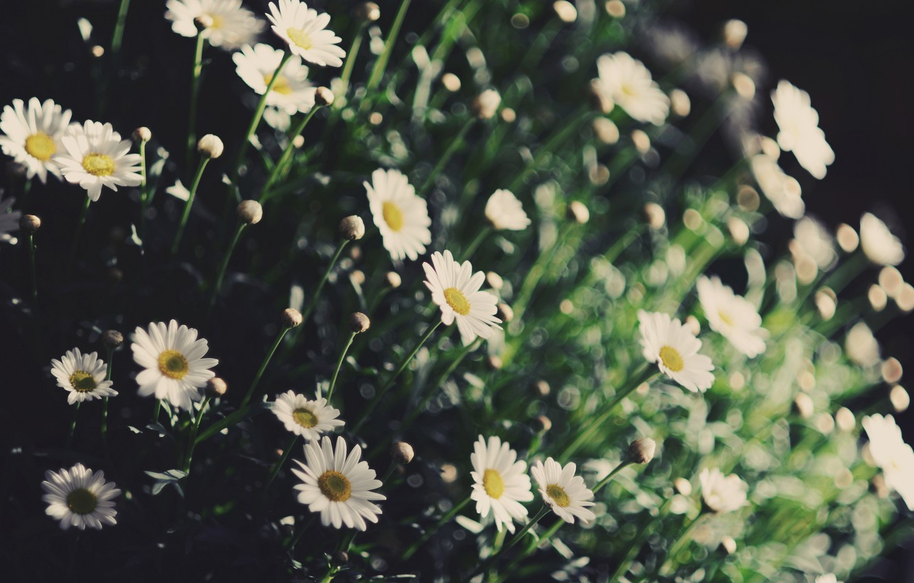 Photo wallpaper greens, white, flowers, yellow, background, widescreen, Wallpaper, plant, Daisy, wallpaper, flowers, flower, widescreen, background, full …