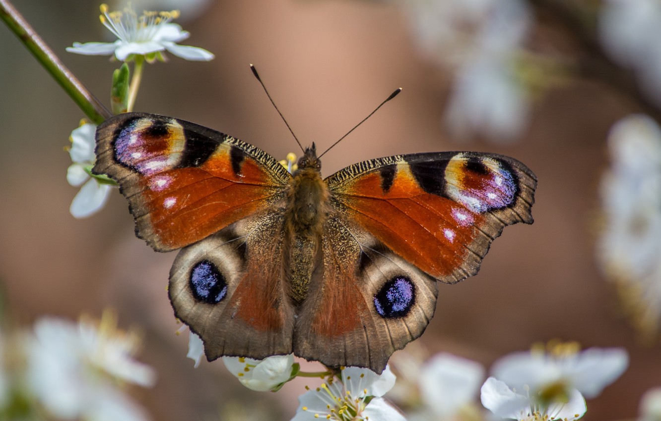 Photo wallpaper macro, butterfly, spring