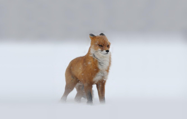 Photo wallpaper winter, Fox, snow, red, Blizzard, looks