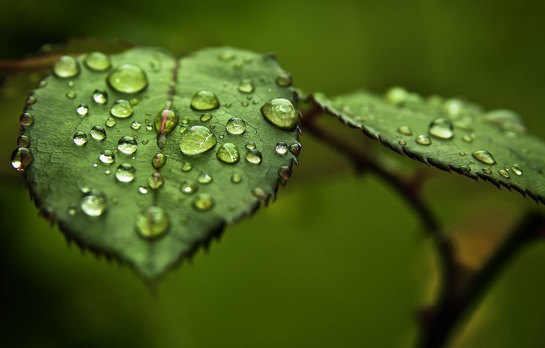 Photo wallpaper greens, leaves, water, drops, macro, Rosa