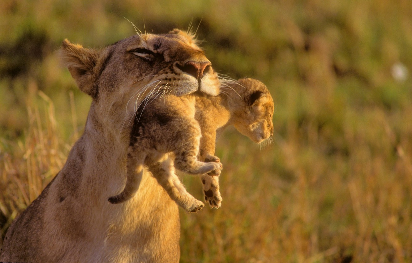 Photo wallpaper animals, Leo, kids, wild cats, lions, the cubs, care, mom