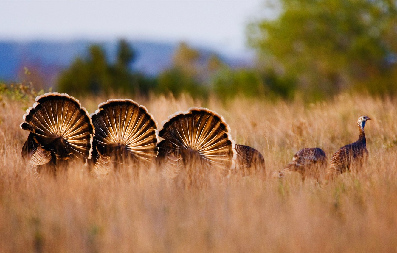 Photo wallpaper autumn, grass, nature, the steppe, USA, Texas, Rio Grande, wild Turkey