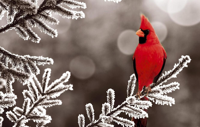 Photo wallpaper nature, branch, red bird
