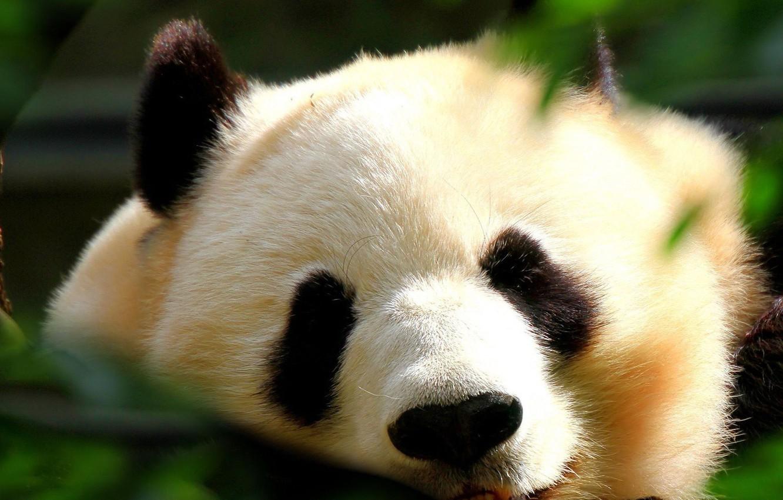 Photo wallpaper sleep, bear, Panda