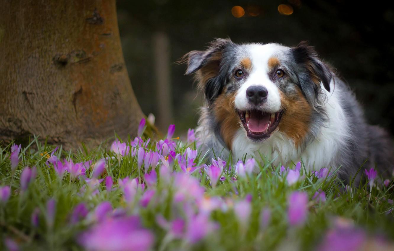 Photo wallpaper joy, flowers, mood, dog, spring, crocuses, Australian shepherd, Aussie