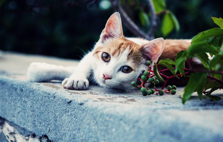 Photo wallpaper cat, look, background, Koshak, Tomcat, foot