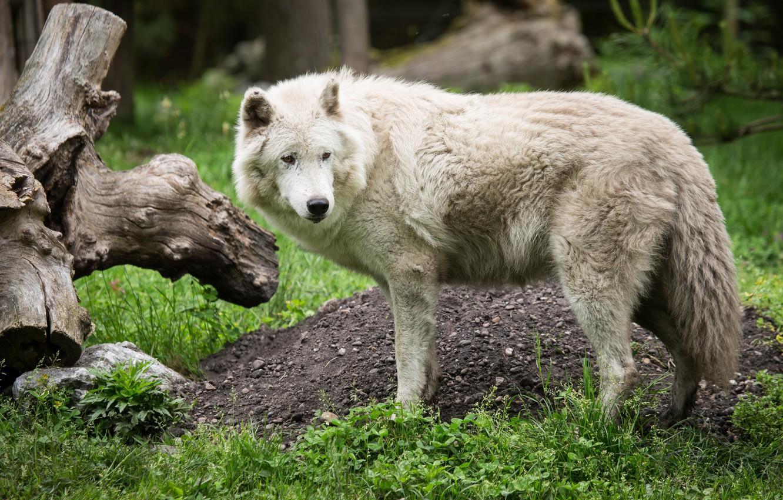 Photo wallpaper white, grass, wolf, predator, snag