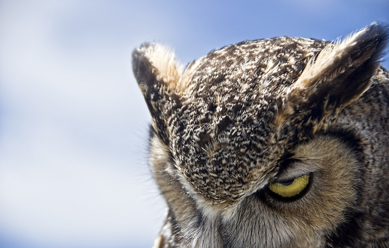 Photo wallpaper owl, Great Horned Owl, gloomy