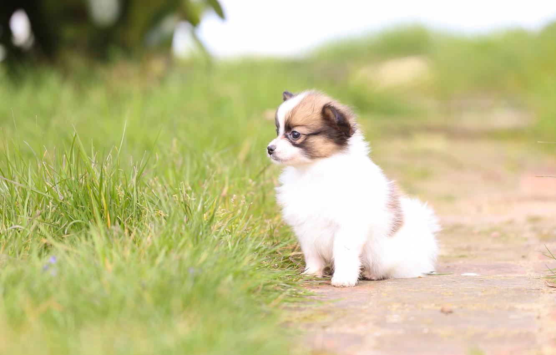 Photo wallpaper grass, dog, baby, puppy, bokeh, The continental toy Spaniel, Papillon
