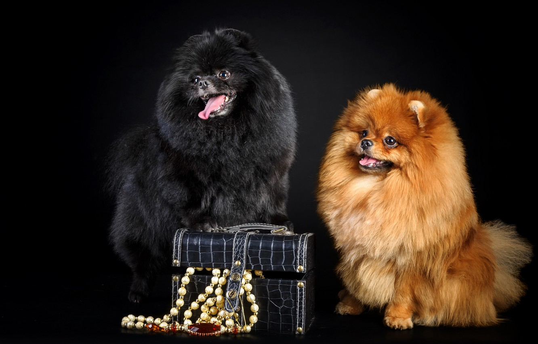 Photo wallpaper dogs, pair, box, beads, fluffy, cute, Spitz