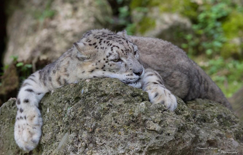 Photo wallpaper face, stay, predator, paws, lies, IRBIS, snow leopard, wild cat
