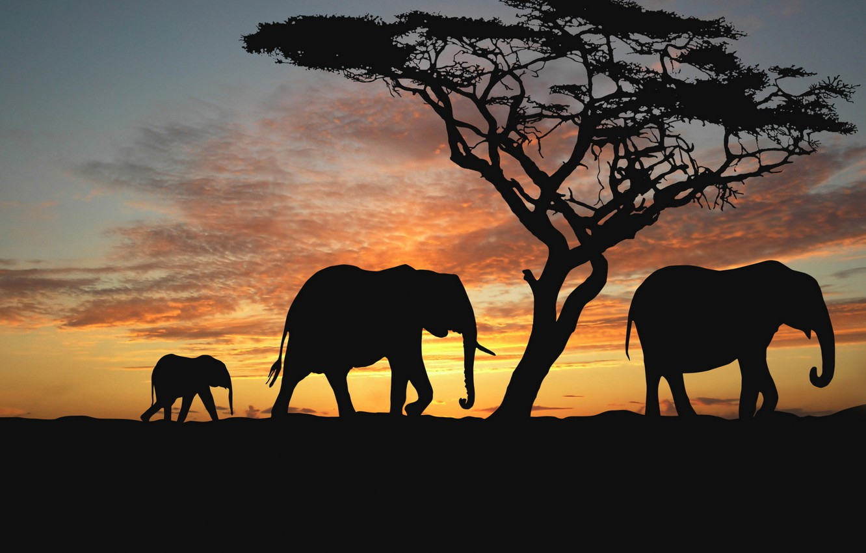 Photo wallpaper animals, trees, the evening, Savannah, Africa, elephants, sunset africa