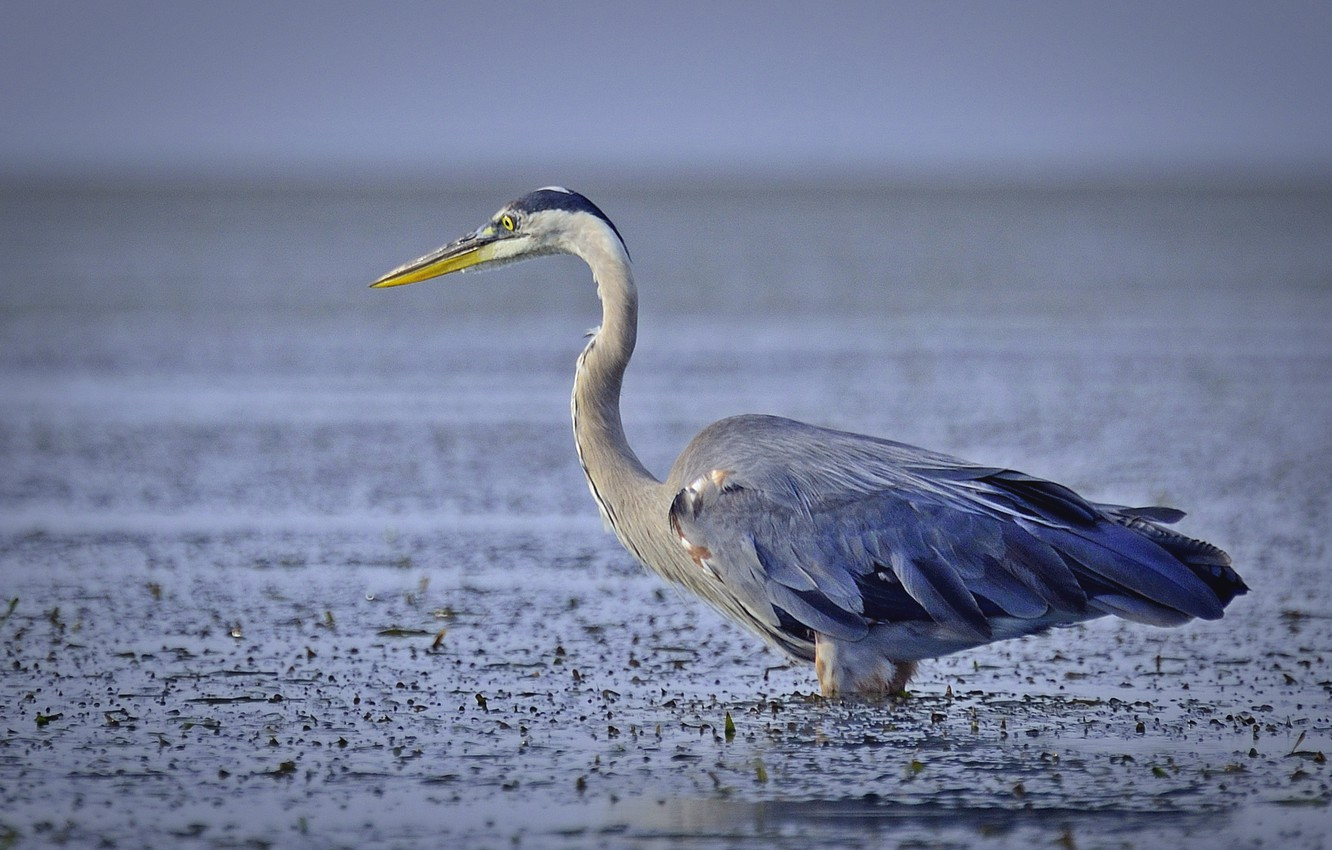 Photo wallpaper eyes, lake, fishing, beak, neck, grey Heron