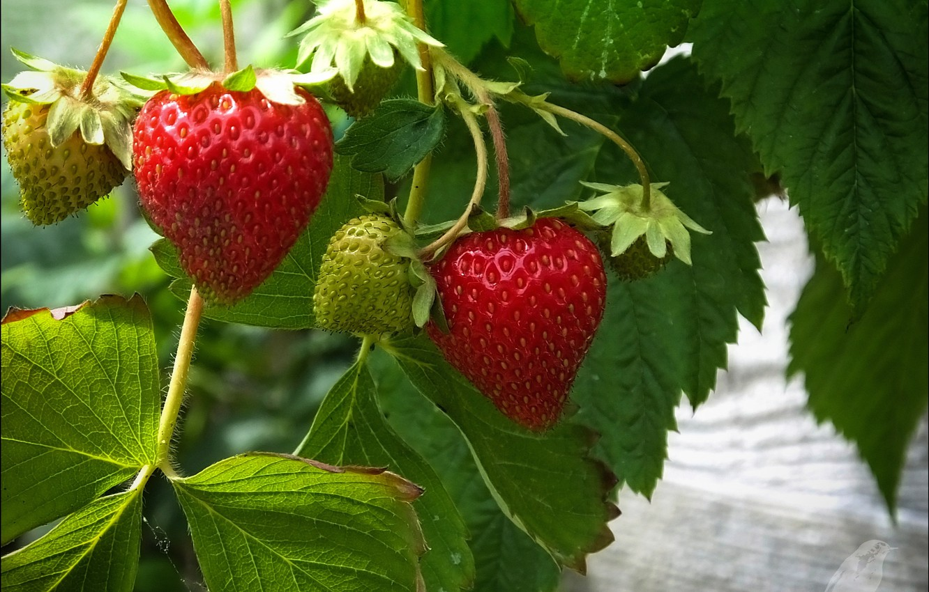 Photo wallpaper leaves, strawberry, berry, red, green
