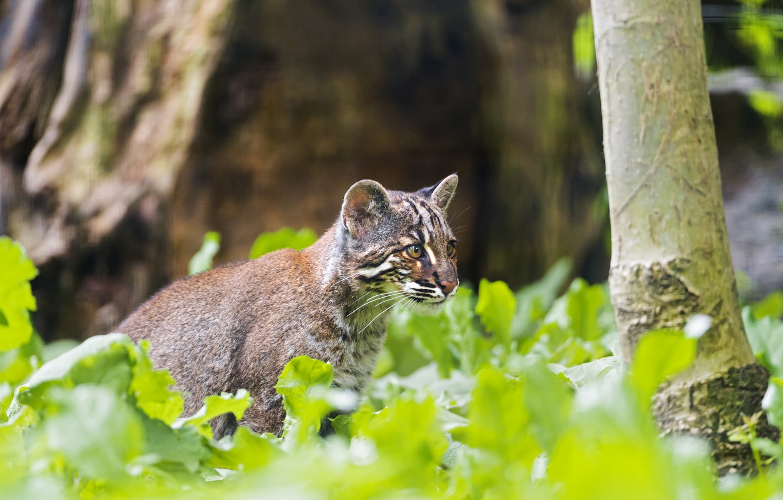 Photo wallpaper cat, ©Tambako The Jaguar, Golden cat, tamminga