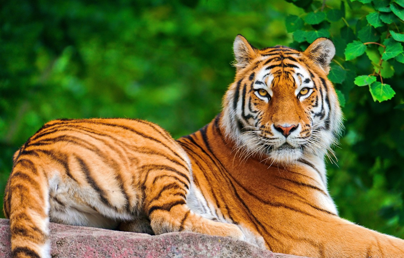 Photo wallpaper look, face, tiger, foliage, stone, lies, posing, a large striped cat