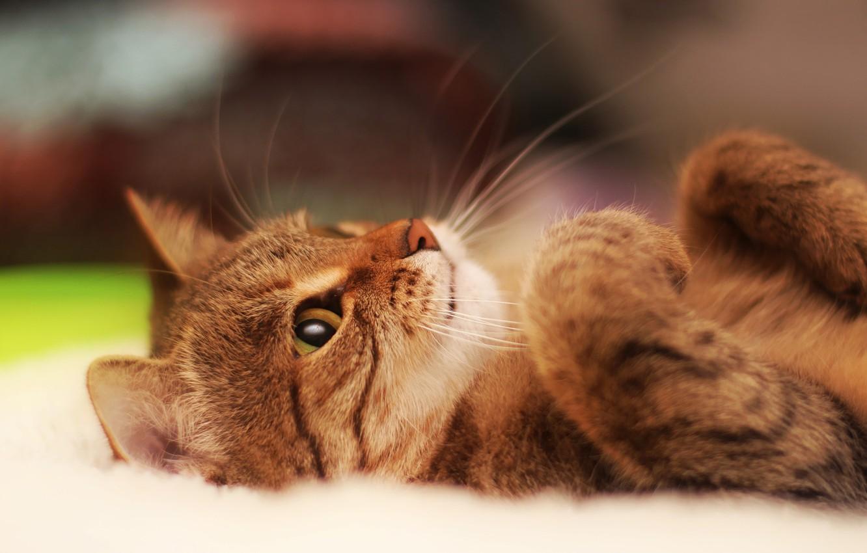 Photo wallpaper eyes, Cat, animal, cute, paws, ears, muzzle, whiskers, feline