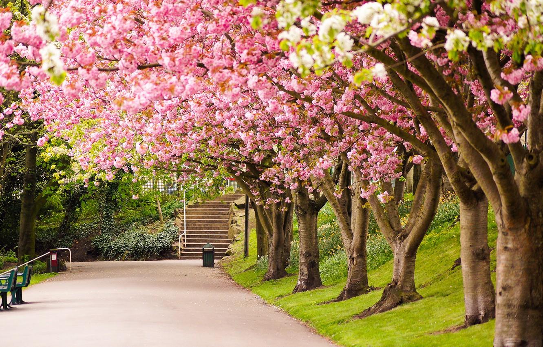 Photo wallpaper road, trees, nature, Park, England, spring, Sakura, UK, steps, alley, flowering, England, Great Britain, Sheffield, …