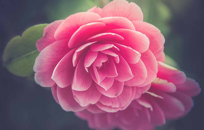 Photo wallpaper macro, petals, buds, Camellia