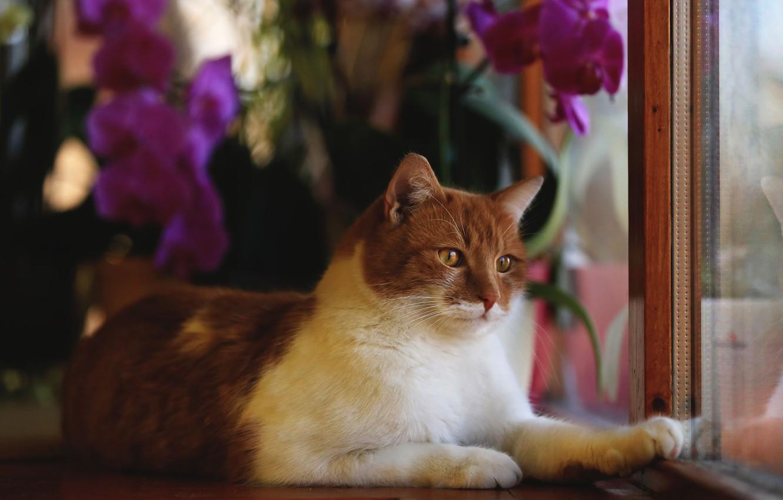 Photo wallpaper cat, look, flowers, animal, frame, window, red, lies