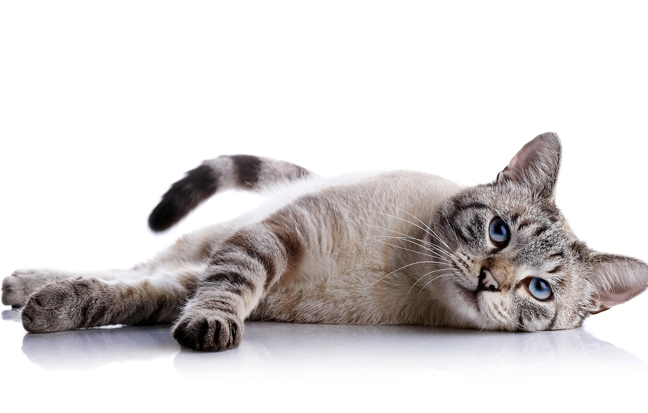 Photo wallpaper cat, look, background, animal, lies, color