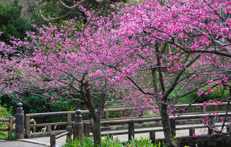Photo wallpaper trees, flowers, spring, petals, Sakura