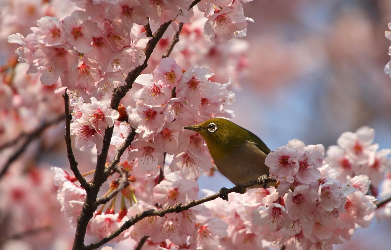 Photo wallpaper flowers, branches, bird, spring, petals, Sakura, flowering