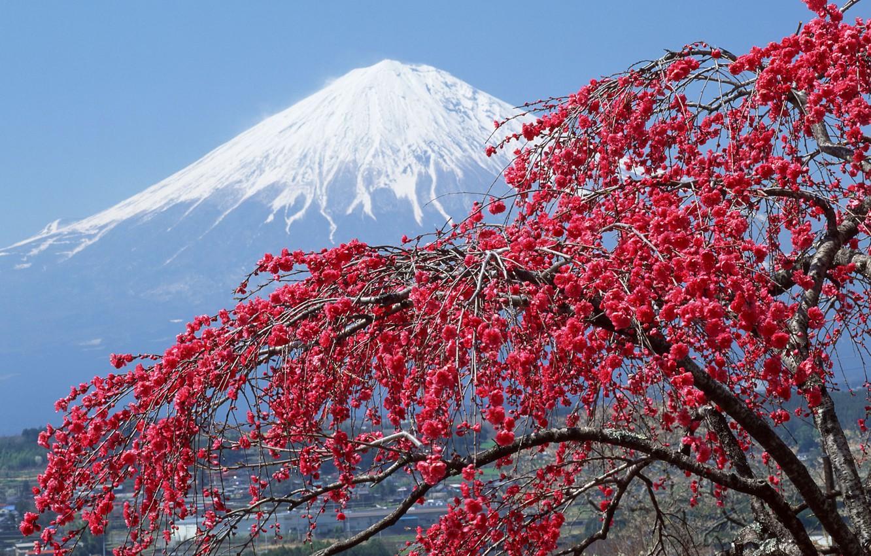 Photo wallpaper snow, tree, Japan, mountain, Sakura, peak, Fuji