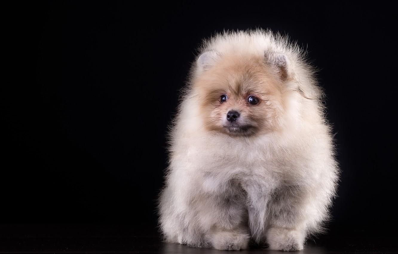 Photo wallpaper fluffy, puppy, Spitz